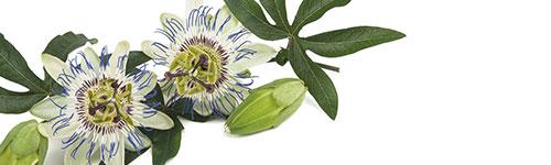 Natural dog supplements - Serenity Formula - Passiflora