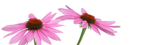 Immune Mix - A natural immune booster for horses with Echinacea purpurea