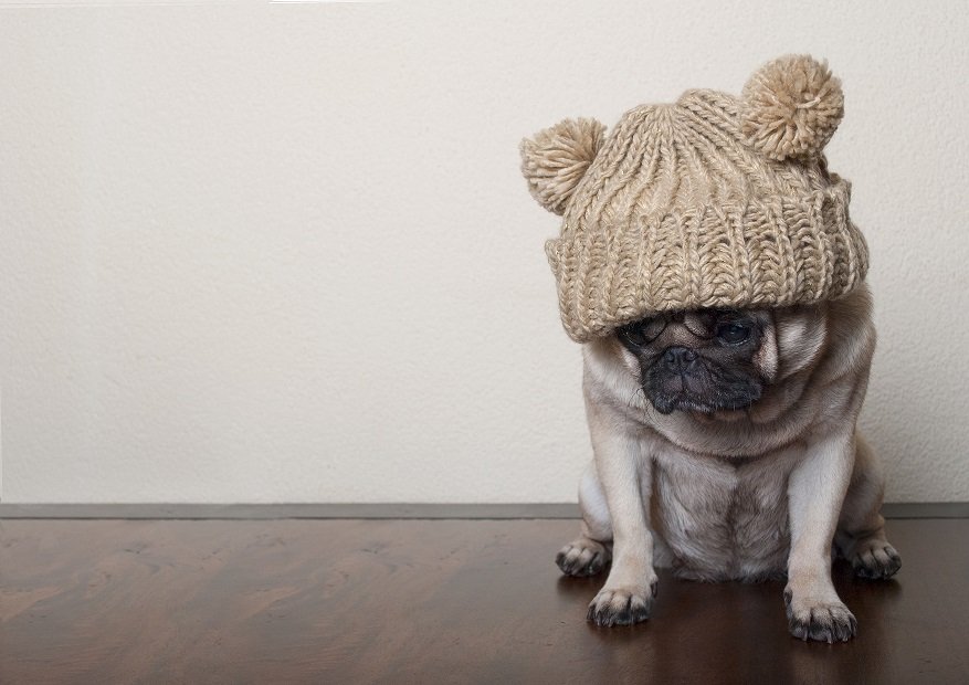 pug in hat